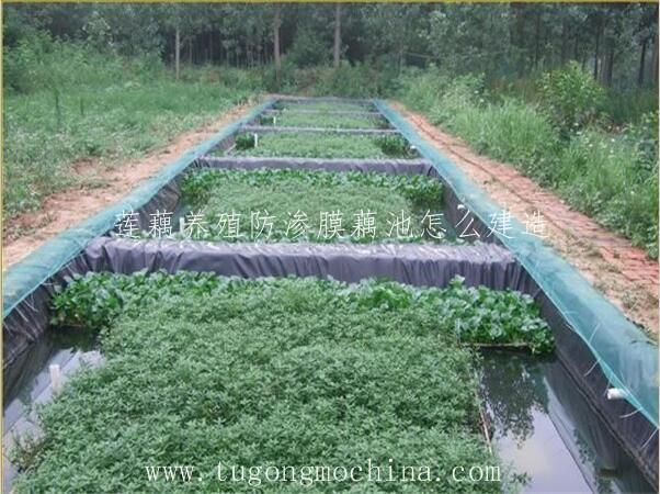 莲藕养殖防渗膜藕池怎么建造